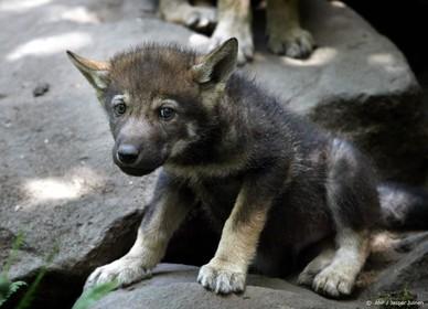 Strenge voorwaarden aan afschieten wolven