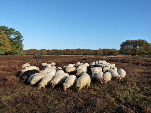 Twintig verlichte schapen verhogen op 20 december de sfeer tijdens Lichtjesavond Laren