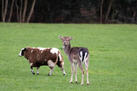 Verdraagzaamheid in Loosdrecht, schapen tolereren hertenkalfje in de wei